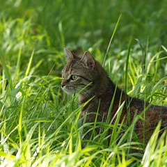 Chasseuse en herbe *** (Titole) Tags: grass cat kat chat gato squareformat katze gatto friendlychallenges thechallengefactory storybookwinner titole nicolefaton