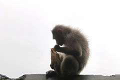 Wet monkey (Yazed Lord) Tags: mist wet wow hair spiky monkey funny ride hill eat yamaha ghat rd350 malshej