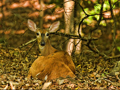 Aw oh I See You (patkashtock) Tags: trees nature leaves forest virginia woods background free doe deer backgrounds 43 woodbridge whitetail ratio whitetaileddeer virginiawhitetaileddeer freepowerpointbackgrounds virginaiwhitetail freeworshipbackgrounds freebackgroundsforworship
