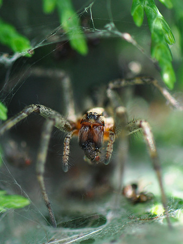Female Common Labyrinth Spider