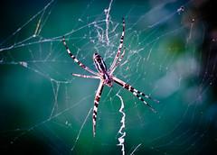 spider (sasa.munjiza) Tags: nature 35mm insect spider nikon nikkor d7000