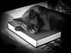 The guardian cat of the book (Juan Antonio Capó) Tags: animal cat kat feline chat fuji gato felino fujifilm katze mace 猫 gatto חתול kot gat kočka kedi kissa köttur mačka kucing x10 pusa mèo moix گربه кошка 고양이 minino γάτα мачка котка pisică แมว قط кішка 잭 קאַץ վալետ िल्ली fujifilmx10 fujix10