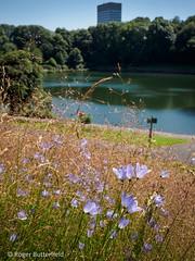 Harebells at Crookesmoor (Roger B.) Tags: park unitedkingdom sheffield wildflower crookesvalleypark southyorkshire harebell crookesmoor campanularotundifolia