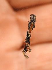 Nepal trashline orbweaver on web (tinlight7) Tags: spider orbweaver web taxonomy:kingdom=animalia animalia taxonomy:phylum=arthropoda arthropoda taxonomy:subphylum=chelicerata chelicerata taxonomy:class=arachnida arachnida taxonomy:order=araneae araneae taxonomy:suborder=araneomorphae araneomorphae taxonomy:infraorder=entelegynae entelegynae taxonomy:superfamily=araneoidea araneoidea taxonomy:family=araneidae araneidae arañastejedoras echteradnetzspinnen павукіколапрады 園蛛科 金蛛科 orbweavers detelarañasorbiculares cuac паукикругопряды taxonomy:common=arañastejedoras taxonomy:common=echteradnetzspinnen taxonomy:common=павукіколапрады taxonomy:common=園蛛科 taxonomy:common=金蛛科 taxonomy:common=orbweavers taxonomy:common=detelarañasorbiculares taxonomy:common=cuac taxonomy:common=паукикругопряды taxonomy:genus=cyclosa cyclosa trashlineorbweavers arañaalineadoradedeshechos 艾蛛屬 cyclosas taxonomy:common=trashlineorbweavers taxonomy:common=arañaalineadoradedeshechos taxonomy:common=艾蛛屬 inaturalist:observation=3916845 makadum nepal