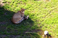 Jaguar (maiklopes) Tags: argentina temaikèn temaiken escobar zoo nature natureza naturaleza animals animal jaguar onçapintada