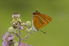 Brown Hairstreak Thecla betulae (icemelter4) Tags: brown hairstreak thecla betulae blackberrys sussex