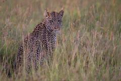 Fields of the Serengeti (Khurram Khan...) Tags: serengeti leopard wildlifephotography wildlife wild africa migration nikon nikkor naturephotography naturephotos wwwkhurramkhanphotocom