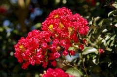 Red Flowers (Doug.Mall) Tags: dogwood52 52weeks artistic challenge color flowers nature photochallenge plants red northcarolina usa