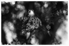 """Au Verger Joli....Retenir son souffle de peur qu'elle ne bouge""/""In the Nice Orchard...Hold your breath... For that does not move"" (The Blue Water Lily's Company) Tags: fdrouet afd blackandwhite noiretblanc blancoynegro biancoenero analog analogue analogique analogico bw nb monochrome monochrom nikon f801s nikkor 50mm18 fp4 ilford lc29 scan epson v370 fleur flower nature grain bokeh"