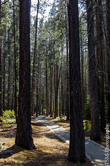 _IMG5275 (blackcloudbrew) Tags: hd2040limited pentaxk3 siaug16 donnerlake forest laketahoe placer statepark