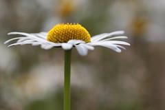 Fleurir, entre ciel et terre (CcileAF) Tags: canon colour countryside wild flowers nature tamron bokeh dreamy daisy macro