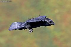 Common Raven (Corvus corax) (Nigel Blake, 13 MILLION...Yay! Many thanks!) Tags: nigelblake nigelblakephotography ornithology birds corax corvid crow bird common raven corvus commonraven corvuscorax
