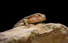 IMG_3295-bearbeitet.jpg (uwe.lehmann) Tags: reptil reptiliumlandau animal reptilien tier tiere zoo