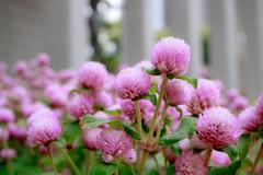 IMG_1601 (Jun.Ohashi) Tags: flower gomphrenaglobosa plant shinjuku sunny tokyometropolitangovernmentbuilding             jp canon  eos eosm3 apsc efm28mmf35macroisstm efm28mm 28mm efm f35 is stm macro  led