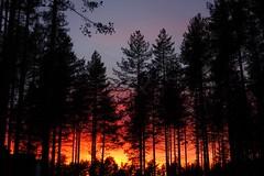 Evening forest (sakarip) Tags: sakarip sunset evening forest vuokatti sotkamo kainuu finland autumn trees pine mnnikk sky northernsky