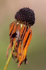 Summer's end (Caryl Sedushak) Tags: august21 2016 plants retzer blackeyedsusan