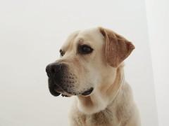 Portrait of Sir Indiana. (cangrejo fotografiador) Tags: lab labrador labs dog portrait animal sony