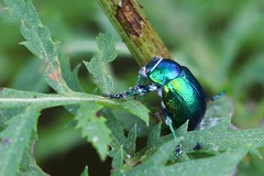 Tansy Beetles-5791 (Markpkn) Tags: tansy beetle fungus disease york ouse chrysolinagraminis chrysolina macro