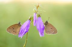 Silent Opera I... (Zbyszek Walkiewicz) Tags: butterflies butterfly sony closeup coth macro