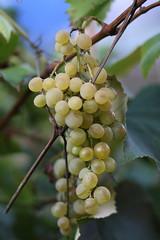 Backyard stories (dzepni_oktavo) Tags: grapes white green backyard nature garden