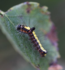 """Acronicta psi"" - psi-uil (bugman11) Tags: psiuil acronictapsi bugs bug catterpillar catterpillars insect insects animal animals fauna nature canon 100mm28lmacro nederland thenetherlands macro leaf leaves 1001nightsmagiccity thegalaxy platinumheartaward"