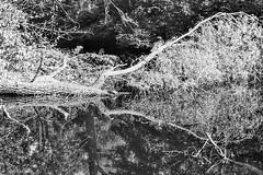 Die Schildkrote...--)) #  27 # Nikon F3 Agfa APX100 - 2016 (irisisopen f/8light) Tags: nikon f3 nikkor 3570 agfa apx100 negativ schwarzweiss bw black white analog irisisopen