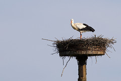 Storch (michel1276) Tags: stork storch