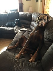 Sofa Time - Red / Brown and Tan Doberman Pinscher Zeus (firehouse.ie) Tags: animals dogs brown tan red black female male canine k9 animal dog pinscher pinschers dobies dobie dobey dobeys doberman dobermann dobermans dobermanns dobes dobe gabbana zeus