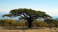 Schirmakazie (tor-falke) Tags: africa afrika africalandscape afrique african tansania tree trees baum bäume akazie schirmakazie plant plants pflanzen natur nature fauna plante arbre arbres sky bluesky safari torfalke flickrtorfalke flickr ngc