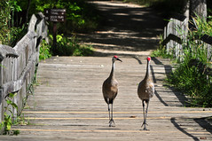 Just a Walk in the Park (River Wanderer) Tags: sandhillcranes kensingtonmetropark nikon d5000 55300