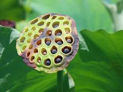#8858 lotus pod (Nemo's great uncle) Tags: shinobazu  shinobazupond ueno  taitku  tky     nelumbonaceae  lotus nelumbonucifera nelumbo nucifera