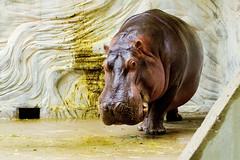 Male Hippopotamus of Ueno Zoo :  (Dakiny) Tags: 2016 autmn september japan tokyo taito ueno outdoor city street park uenopark zoo uenozoo creature animal mammal hippo hippopotamus nikon d7000 sigma apo 70200mm f28 ex hsm apo70200mmf28exhsm sigmaapo70200mmf28exhsm nikonclubit