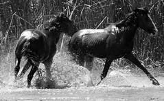 Salt river wild horses (Donald Palansky Photography) Tags: sonyslta99v 70200mmf28 donaldpalansky horses