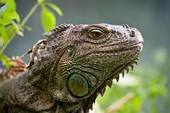 Leguan (enzioharp) Tags: visipix