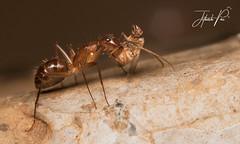 Ant with fleshfly kill (jithupai) Tags: macro reverselensmacro canon canonofficial canon70d 50mmf18 india ant fly kill food wildlife