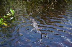 Baby Gator. (photographyfun71) Tags: gator aligator babyaligator babygator everglades florida nikon d5100