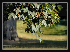 (karin_b1966) Tags: baum tree bltter leaves natur nature schlossparkbiebrichwiesbaden 2016 ahorn yourbestoftoday