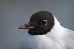 Last Year (Luis-Gaspar) Tags: animal bird passaro ave gaivota guincho guinchocomum gull seagull blackheadedgull larusridibundus face portrait retrato portugal cruzquebrada jamor nikon d60 55300 f8 1800 iso200