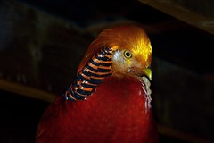 Red Golden Dream (emerge13) Tags: stjosephdulacqubec birds oiseaux aves mdpquebec saariysqualitypictures