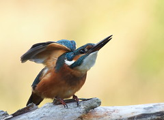 pronti via al ... (quarzonero ...Aldo A...) Tags: kingfisher martin pescatore bird nature coth