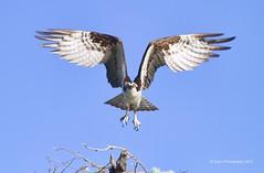 Osprey (Pansion haliaetus) (sailingsue) Tags: bird nature raptor osprey nesting birdinflight haliaetus pansion flightshot