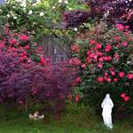 Abundant Roses thumbnail