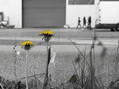 Human life between blossoms and walls 3 (maramillo) Tags: flower yellow dandelion otr cy selectivecolour yourock x3 x2 tcf bigmomma gamewinner friendlychallenges thechallengefactory maramillo