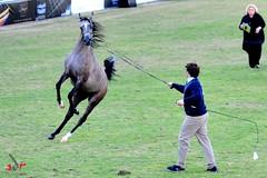 2011 (Adr7manCam) Tags: horses horse nikon hq adr d300 2011       abdulrahman  k5a  alhaqbani  adr7man adr7mancam  0500004936 adrhman
