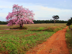 All About the Journey (osvaldoeaf) Tags: pink flowers light brazil sky tree green nature rio landscape spring do day blossoms cerrado goinia gois pires