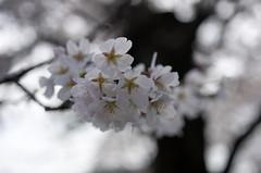 IMGP6918 (Amad) Tags: flower japan spring   sakura kiryu        gettyimagesjapan12q2