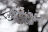 IMGP6918 (Aḥmad) Tags: flower japan spring 桜 日本 sakura kiryu زهرة 春 さくら ساكورا ربيع 桐生 يابان gettyimagesjapan12q2