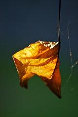 Single beauty (Deb Jones1) Tags: autumn nature beauty leaves yellow canon garden botanical outdoors leaf flora bokeh flickawards debjones1