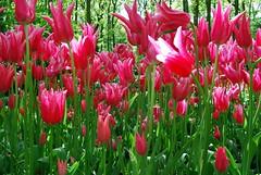 Tulpen uit Amsterdam (Centje) Tags: tulpen tulp