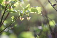 hopp (Stora_Essingen) Tags: blueberry höst vår hopp blåbär skörd fotosöndag fs120513